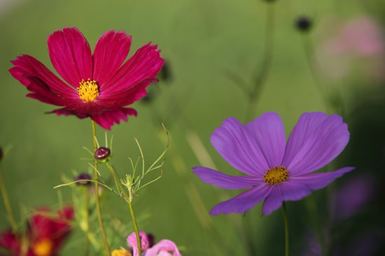 Cosmos Easy Annual Flowers To Grow From Seed