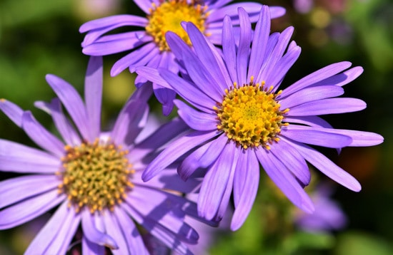 Easy To Grow Perennial Flowers Aster