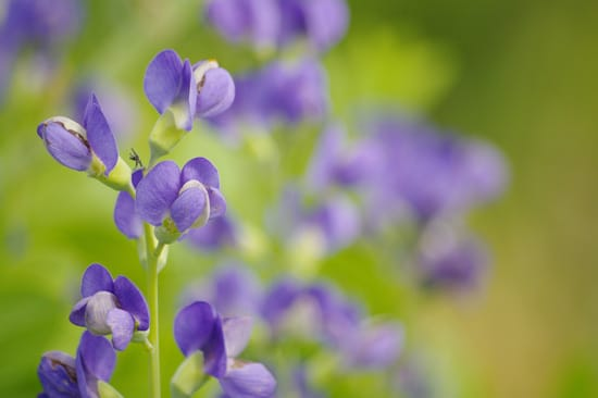 Easy To Grow Perennial Flowers Baptisia