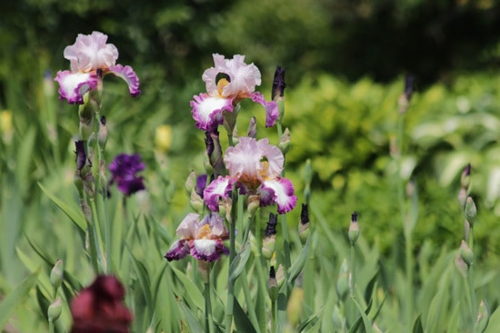 Easy To Grow Perennial Flowers Bearded Iris