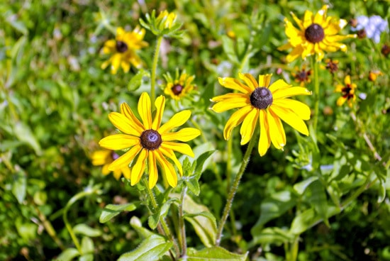 Easy To Grow Perennial Flowers Black Eyed Susan