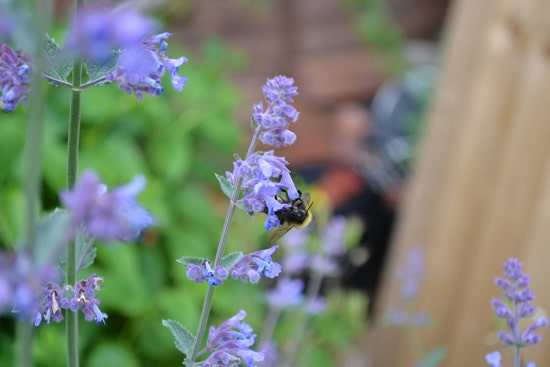 Easy To Grow Perennial Flowers Catmint