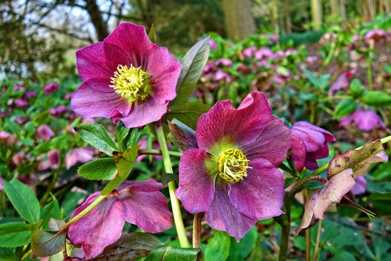 Easy To Grow Perennial Flowers Hellebore