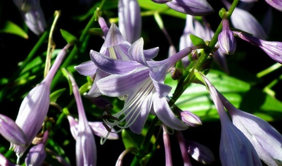 Easy To Grow Perennial Flowers Hosta