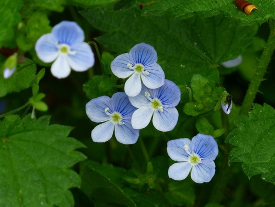 Easy To Grow Perennial Flowers Veronica