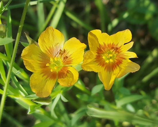 Flax Easy Annual Flowers To Grow From Seed