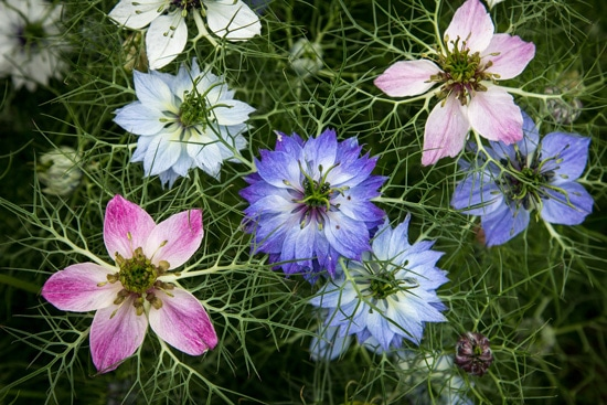 Love in a Mist Nigella or Nigella Damascena Easy Annual Flowers To Grow From Seed