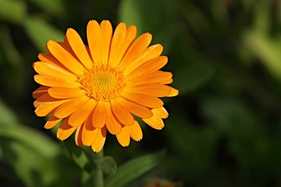 Marigold Easy Annual Flowers To Grow From Seed