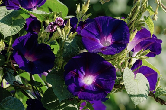 Morning Glory Easy Annual Flowers To Grow From Seed