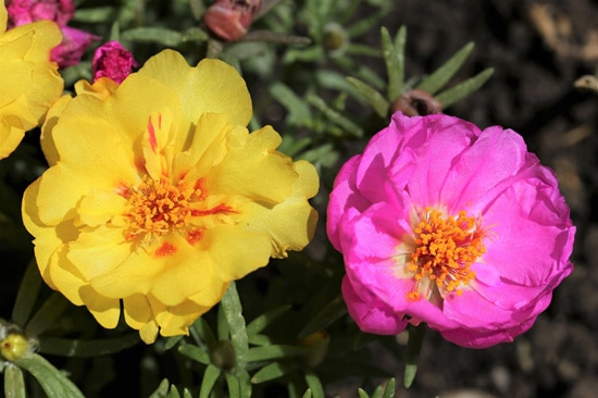 Moss Rose Easy Annual Flowers To Grow From Seed
