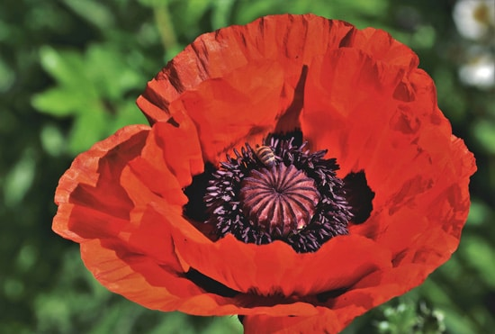Poppy Easy Annual Flowers To Grow From Seed