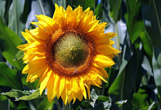 Sunflower Easy Annual Flowers To Grow From Seed