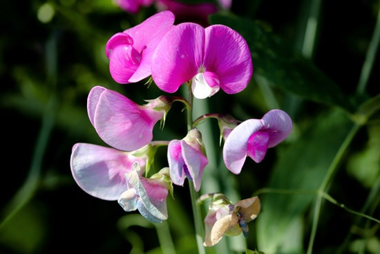 Sweet Pea Easy Annual Flowers To Grow From Seed