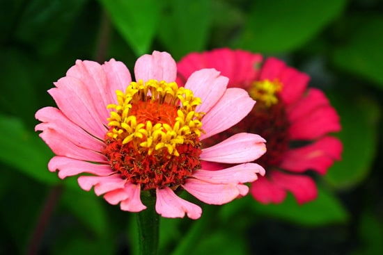 Zinnia Easy Annual Flowers To Grow From Seed
