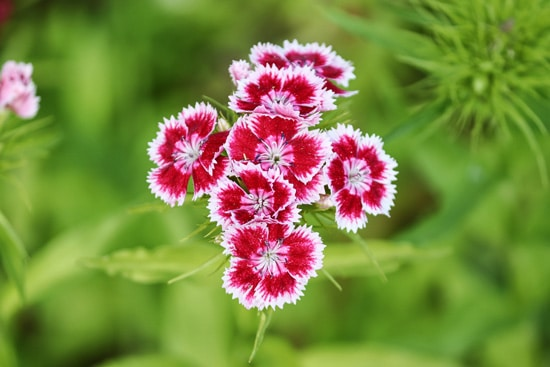Best Fragrant Flowers for Pots Dianthus