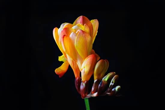 Best Fragrant Flowers for Pots Freesia 2