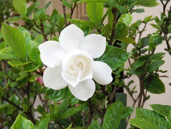 Best Fragrant Flowers for Pots Gardenia