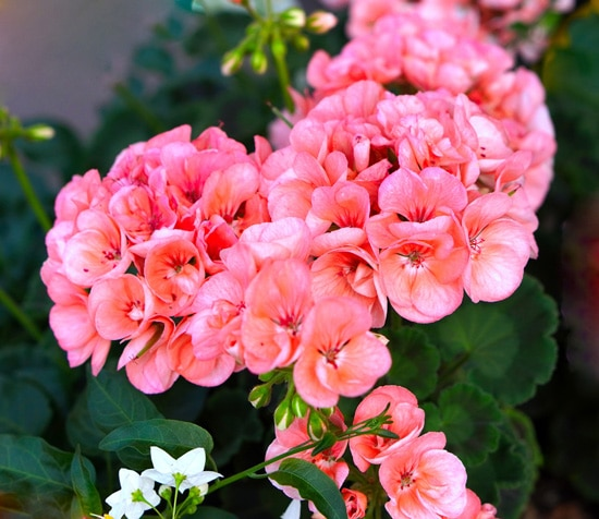 Best Fragrant Flowers for Pots Geranium