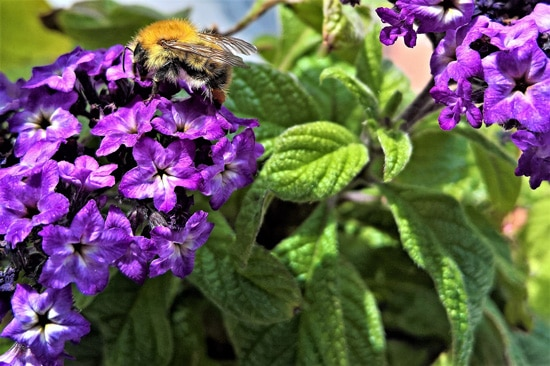 Best Fragrant Flowers for Pots Heliotrope