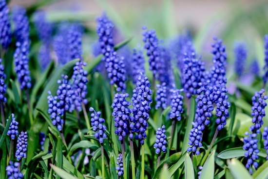 Best Fragrant Flowers for Pots Hyacinth