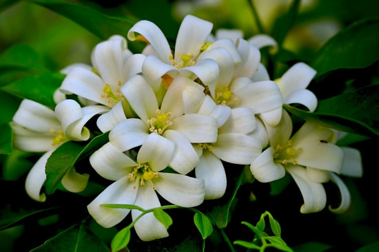 Best Fragrant Flowers for Pots Jasmine