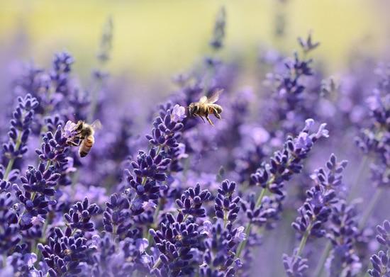 Best Fragrant Flowers for Pots Lavender