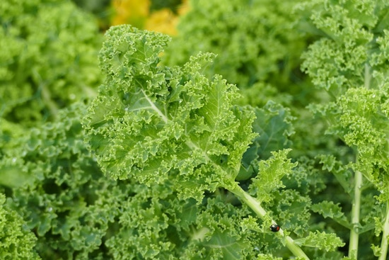 Easy Vegetables To Grow Indoors Kale