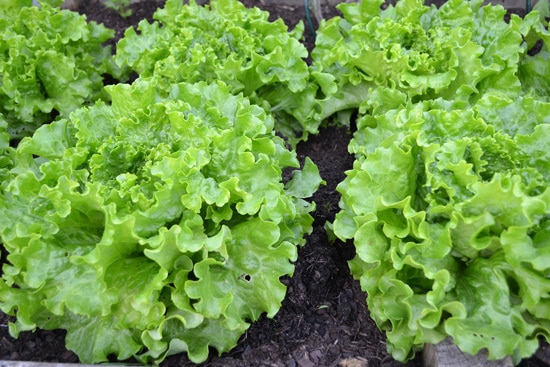 Easy Vegetables To Grow Indoors Lettuce