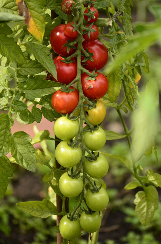 Easy Vegetables To Grow Indoors Tomatoes
