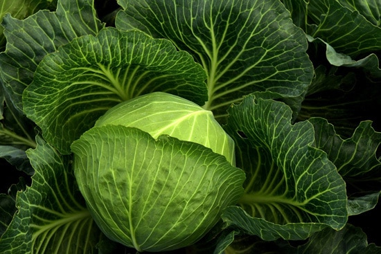 Frost Tolerant Vegetable Plants Cabbage
