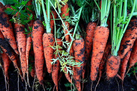 Frost Tolerant Vegetable Plants Carrot2