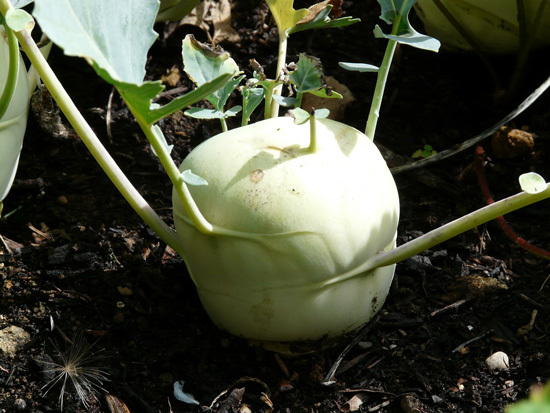 Frost Tolerant Vegetable Plants Kohlrabi