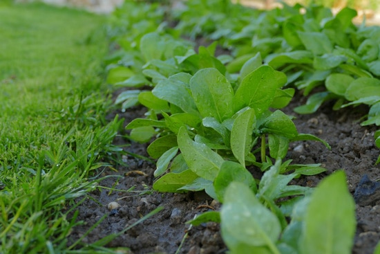 Frost Tolerant Vegetable Plants Spinach