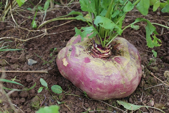 Frost Tolerant Vegetable Plants Swiss Turnip