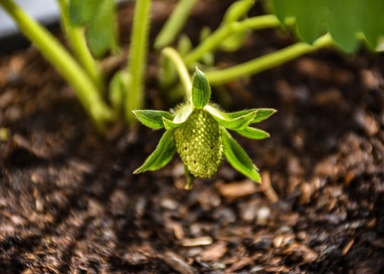 How Do Plants Eat strawberry Light