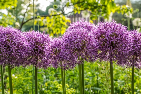 Large Flowers Allium