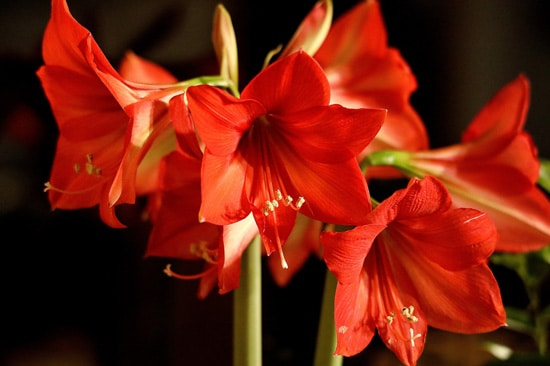 Large Flowers Amaryllis