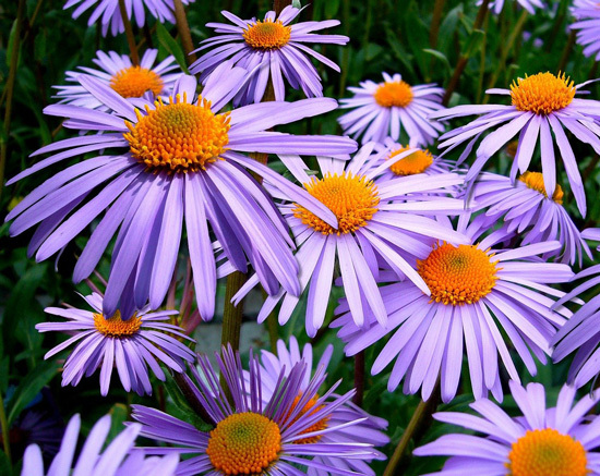 Large Flowers Aster