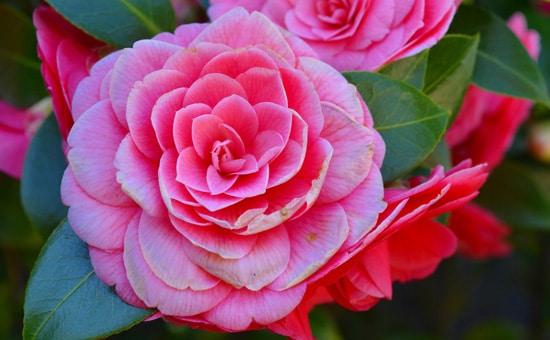 Large Flowers Camellia