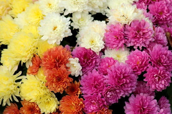 Large Flowers Chrysanthemum
