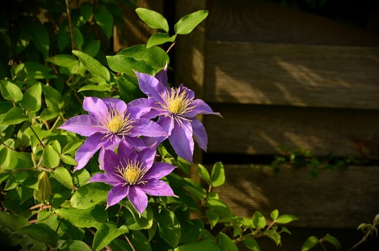 Large Flowers Clematis