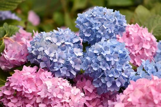 Large Flowers Hydrangea