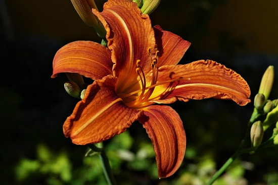 Large Flowers Lily