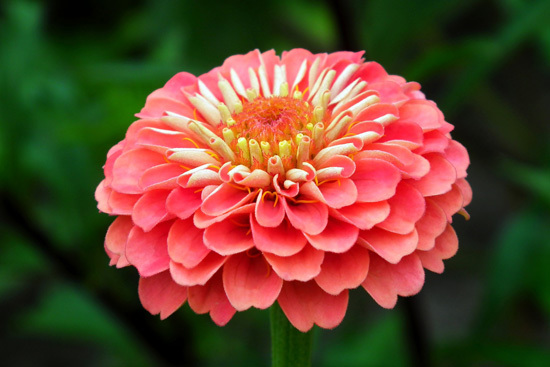 Large Flowers Zinnia