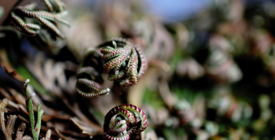 What Is the Resurrection Plant rose of jericho