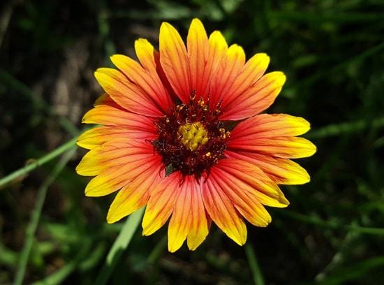 Blanket Flower Brightest Orange Perennial Flowers