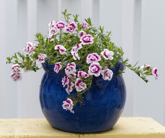Calibrachoa Full Sun Container Flowers