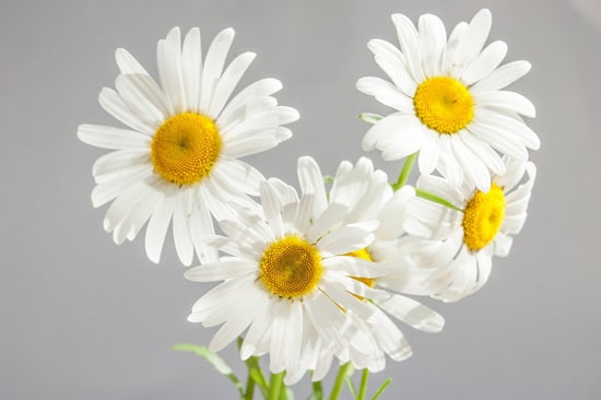 Chamomile Full Sun Container Flowers