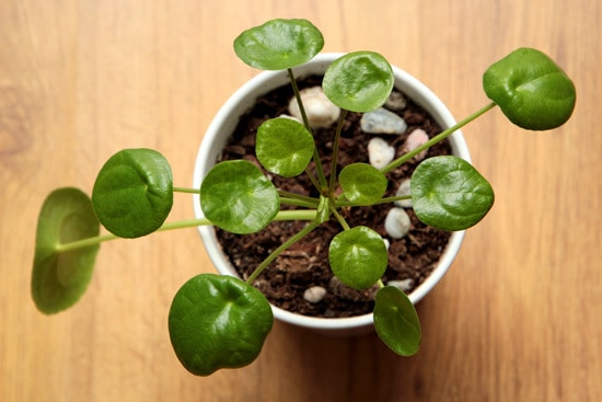 Chinese Money Plants Easy To Propagate Houseplants