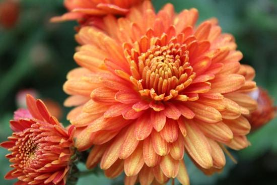 Chrysanthemum Brightest Orange Perennial Flowers